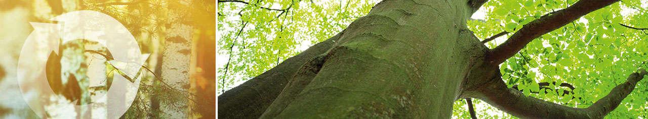 Green schomburg 02